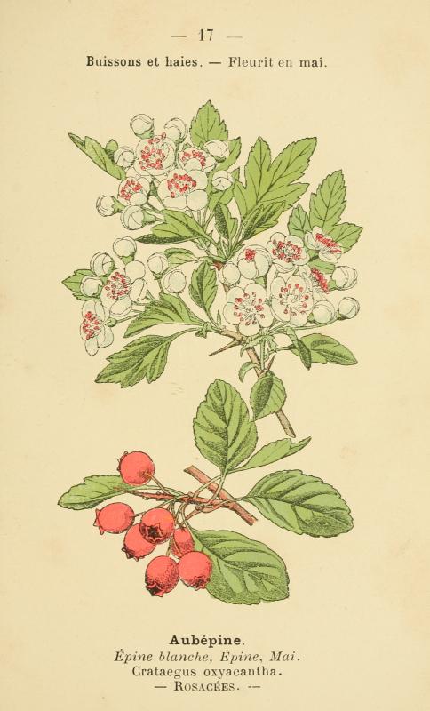 aubepineflower